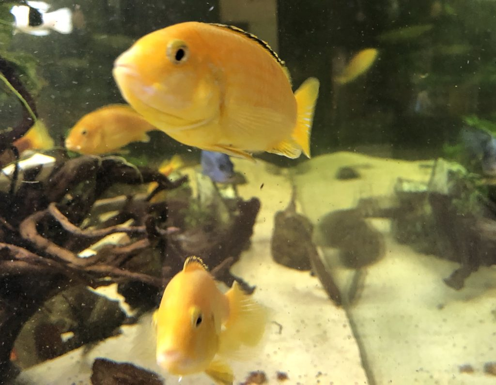 Labidochromis caeruleus,Ciclido limón